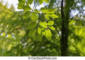 primavera, foglie, foresta, albero, primo