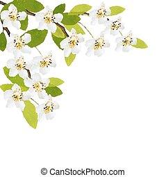 primavera, fondo, con, bianco, flowers., vector.