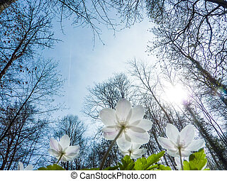primavera, foresta, anemone, luce
