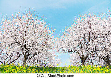 primavera, giapponese, scenics