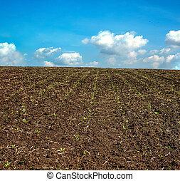 primavera, giovane, orizzonte, cielo, barbabietola, cavoletti di bruxel, zucchero, campo