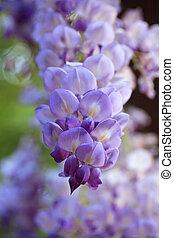 primavera, glicina, jardín