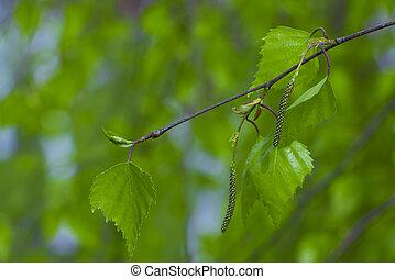 primavera, hojas, rama de árbol, abedul, fresco