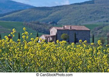 Primavera in Toscana - Fioritura di colza nella campagna ...