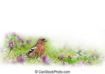 primavera, isolado, luminoso,  Finch, branca, flores