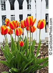 primavera, jardín, tulipanes