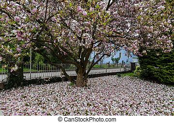 primavera, magnólia, flor