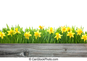 primavera, narcisos, flores