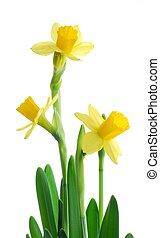primavera, narcisos
