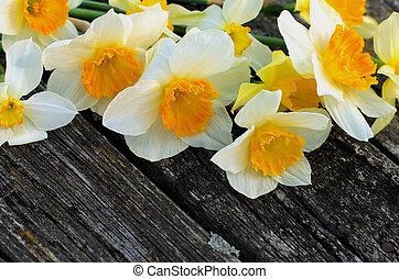 primavera, narcisos silvestres, amarela