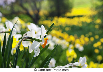 primavera, narcisos silvestres, parque, florescer