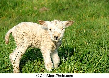 primavera, nuovo nato, agnelli