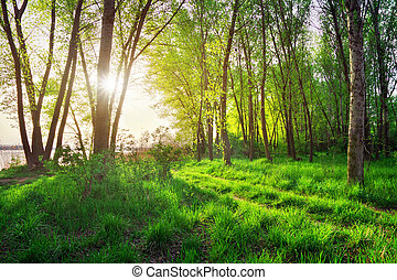 primavera, paisagem., bonito, cena, em, a, floresta, com, sol