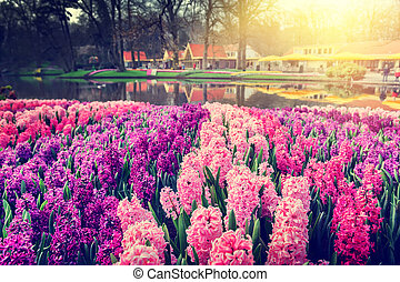primavera, paisaje, con, hermoso, jacintos
