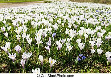 primavera, pasqueflower, campo