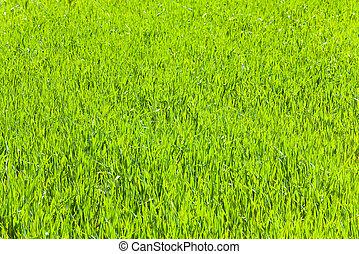 primavera, pasto o césped, verde, (nature, background)