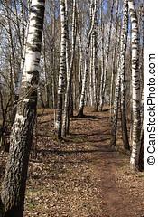 primavera, pioggia, presto, legno, betulla