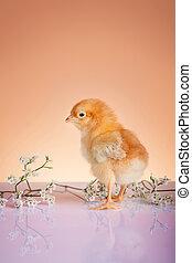 primavera, pollo, arriba, joven, cierre