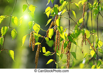 primavera, rama de árbol, abedul
