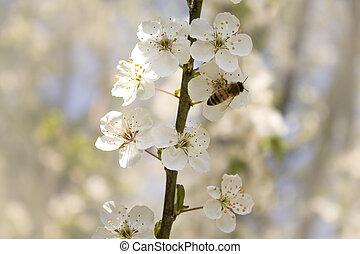 primavera, ramo, fiori, ciliegia