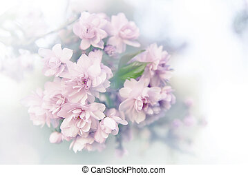 primavera, sakura, blossoms.