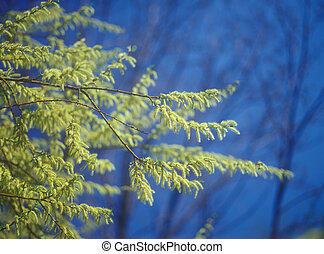 primavera, salgueiro, ramos