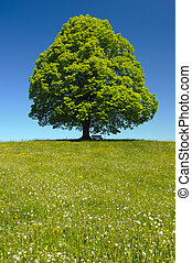 primavera, singolo, albero