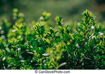 primavera, su, buxus, nuovo, chiudere, siepe, tiri, vista