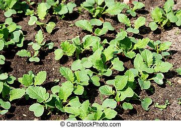 primavera, tiri, di, seedlings., giovane, ravanelli, sole