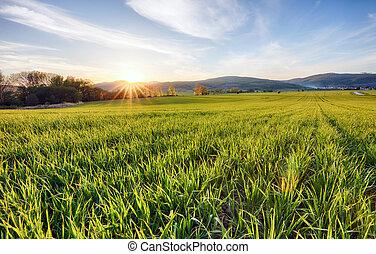primavera, trigo verde, joven, campos