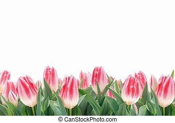 primavera, tulipanes, flores, en, hierba verde