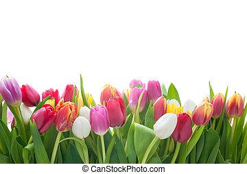 primavera, tulipanes