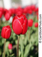 primavera, tulipano