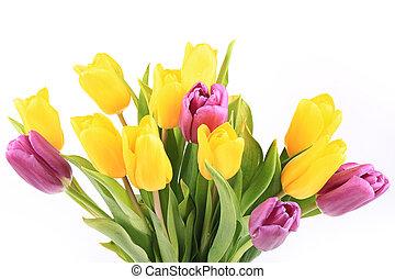 primavera, tulips, isolato, su, uno, sfondo bianco