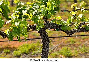 primavera, vid, napa, uva