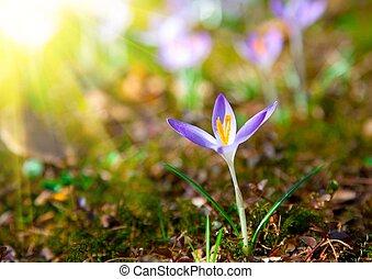 primavera, viola, croco, fiori, con, luce sole