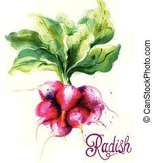 primavera, watercolor., isolato, vettore, veggies, ravanello, illustrazioni, fresco