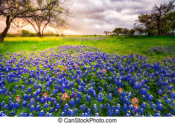 primavera, wildflowers, tejas, nublado, mañana