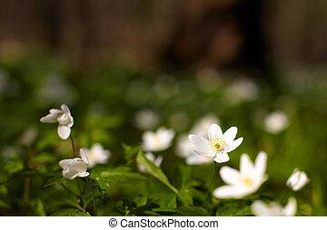 primavera, windflower