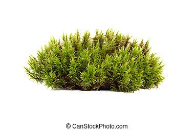 primer plano, aislado, musgo de sphagnum, verde