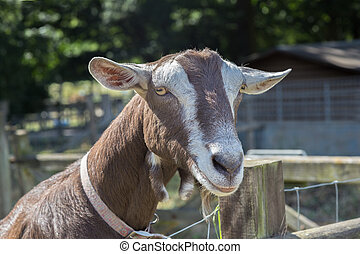 primer plano, cabeza, goat, mirar, amistoso, el suyo