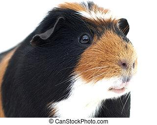 primer plano, cerdo, guinea
