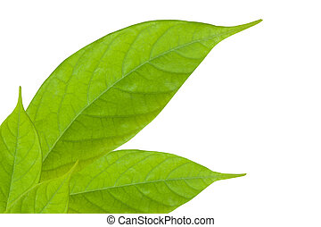 primer plano, de, hoja verde, aislado, blanco, plano de fondo