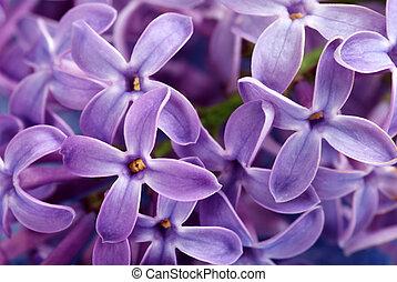 primer plano, de, púrpura, lila, flor