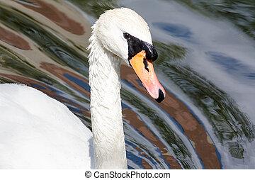 primer plano, de, un, cisne blanco