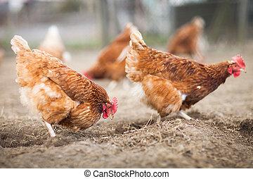 primer plano, de, un, gallina, en, un, corral, (gallus,...
