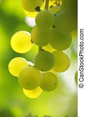 primer plano, de, un, ramo uvas, en, vid, en, vineyard., superficial, dof.