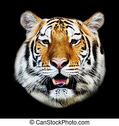 primer plano, de, un, tigre, cara