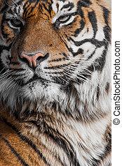 primer plano, de, un, tigres, face.