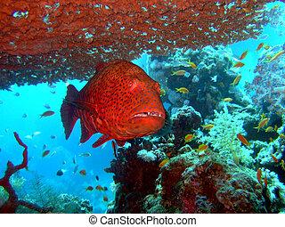 primer plano, grouper rojo
